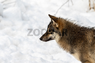Gray wolf, Canis lupus, head in profile, looking left, with snow in the background.