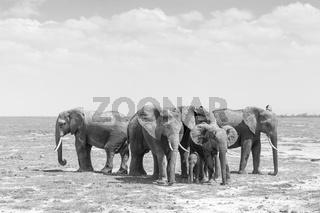 Herd of wild elephants in Amboseli National Park, Kemya.