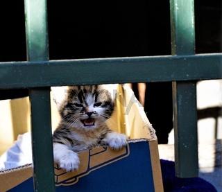 Cutest kitten meowing in a cardboard box