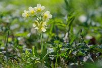 Cowslip  (Primula veris) in a wild nature