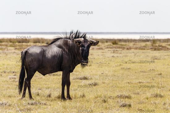 Streifengnu, Blue wildebeest