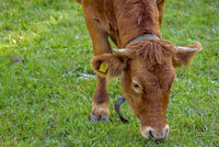 Young cow grazing