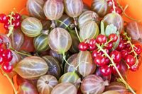 Background with gooseberries and currants