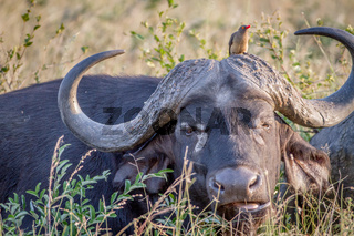 African buffalo with an Oxpecker starring.