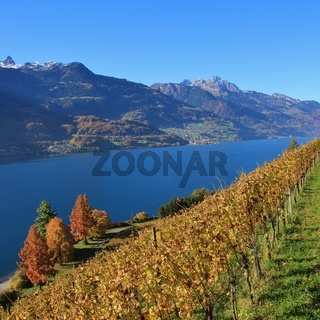 Vineyard and multi colored trees at lake Walensee, Switzerland. Autumn scene in Walenstadt.