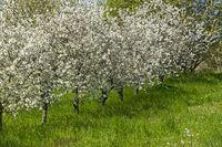 Blühende Kirschbäume (Prunus avium)