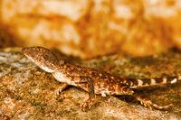 Fan throated lizard, Sitana sp., Barnawapara WLS, Chhattisgarh