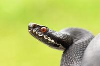 close up of black european common viper ready to strike ( Vipera berus