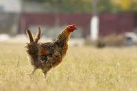 funny free hen on meadow near the bio farm
