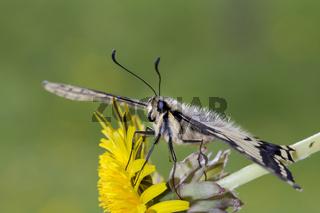 Schwalbenschwanz, Papilio machaon, Common Yellow Swallowtail