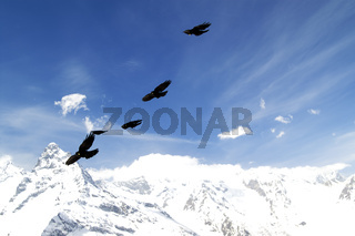 Flock of birds flying in blue sky with clouds and winter snowy mountains at background