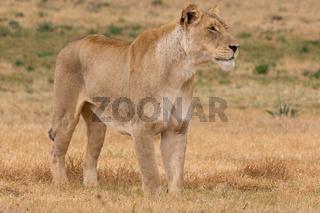 Lioness Kruger National Park