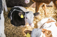 Calf relaxing in a sunny barn with hay