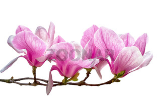 Magnolia flower blossom isolated on white background