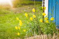 Daffodils in a garden with green grass