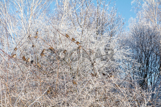 Sparrows on the frosty bush branches. Blue clear winter sky, sunny day. Beautiful winter background.
