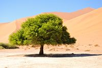 Crazy Dune mit Akazie Namibia