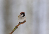Tree sparrow (Passer montanus) in winter morning