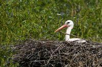 1 BA Storch auf dem Nest.jpg