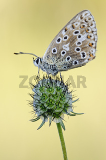 in 2. Generation... Himmelblauer Bläuling *Polyommatus bellargus*