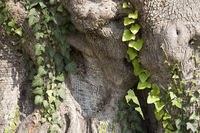 Alter mächtiger Baunstamm eines Olivenbaumes