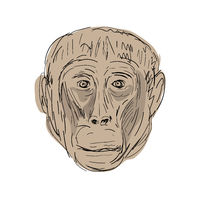 Gelada Monkey Head  Drawing