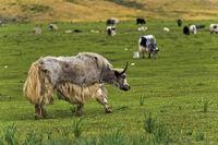 Yaks auf der Weide, Yaks auf der Weide, Gorchi-Tereldsch-Nationalpark, Mongolei