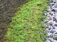 Algen als Muster auf Steinen an der Nordseeküste
