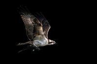 Osprey Catch VII
