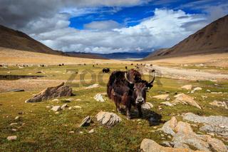 Yak in Himalayas. Ladakh, India