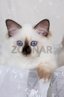 HEILIGE BIRMA KATZE, BIRMAKATZE, SACRED CAT OF BIRMA, BIRMAN CAT, KITTEN, SEALPOINT,