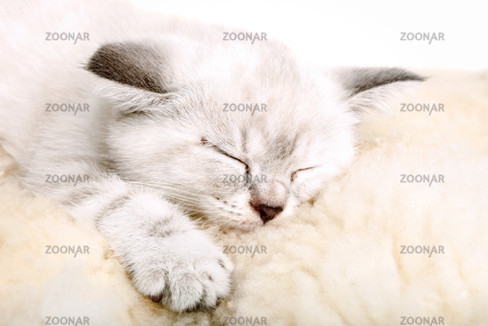 Cute little white kitten sleeps