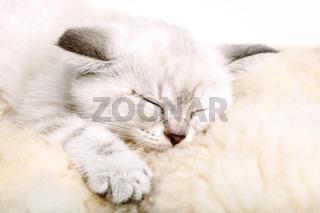 Cute little white kitten sleeps