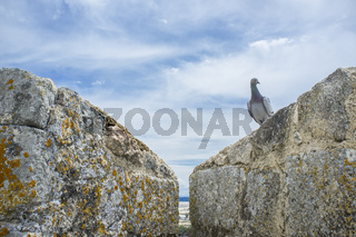 Pigeon on Battlement Castle of medieval Trujillo town