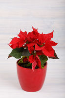 christmas flower red Poinsettia