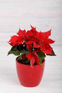 christmas flower red Poinsettia