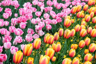 Pink, yellow and orange tulips in the park.