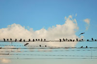 Group pigeons of sitting on wires
