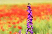 purple wild flower growing in red poppy field