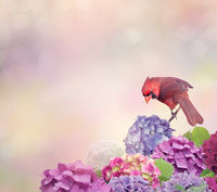 Northern Cardinal with hydrangea flowers