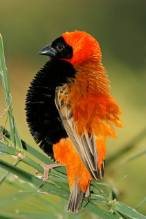 Male red bishop bird
