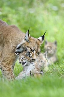 Luchs-(Lynx-Iynx)11.jpg