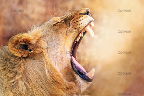 Gähnende Löwin im warmen Nachmittagslicht, Südafrika, yawning lioness in the warm light of the day, South Africa