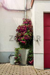 Flowering vinous clematis bush near the house in a bucket, watering can and garage door, Walldorf, Germany.