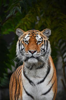 Close up portrait of Siberian Amur tiger