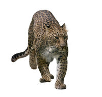 Leopard Portrait isolated on white