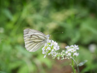 Kohlweißling auf weißen Blüten