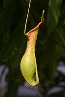 Geflügelte Kannenpflanze ( Nepenthes allata) Vorkommen Philippin