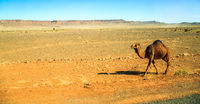 dromedary walking in the middle of the desert with mountains in the background