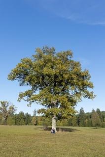 Alte, freistehende Eiche (Quercus), Naturschutzgebiet Irndorfer Hardt